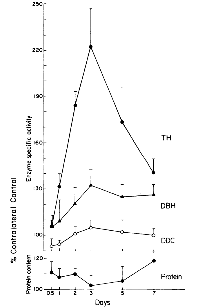 two line graphs with days as x-axis and % Contralateral Contol as y-axis, with bottom y-axis Protien content and top y-axis Enzyme specific activity. Time course of the effects of preganglionic nerve stimulation on TH, dopamine beta hydroxylase (DBH) and dopa decarboxylase (DDC) in the SCG. The cervical sympathetic trunk (CST) was stimulated for 90 min with trains of 40 Hz for 250 out of every 750 msec. TH and DBH activity reached a maximum at 3 days. Neither DDC nor total protein changed significantly.