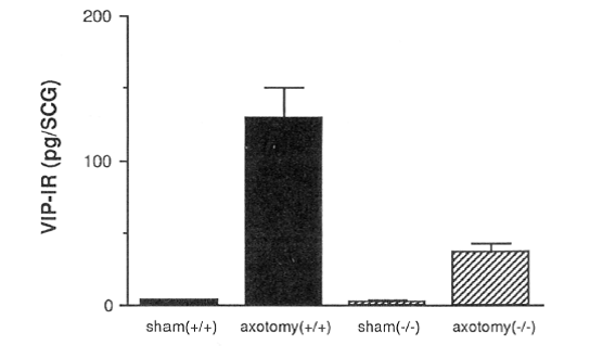 bar graph with a-axis sham(+/+), axotomy(x,x), sham(-/-), axotomy(-,-), and y-axis VIP-IR (pg/SCG) from 0,100,200. the graph reflects Axotomy-induced VIP expression in the SCG is reduced in LIF -/- mice.