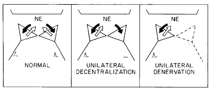 three diagrams with nerves with black and white arrow of directionality and NE above. first labelled normal, second unilateral decentralization, and third unilateral denervation. A model to account for the recovery of pineal NAT activity after unilateral denervation (cutting the postganglionic internal carotid nerve) but not after unilateral decentralization (cutting the preganglionic CST). Two sympathetic nerves, one from the left and one from the right SCG are pictured innervating the same pinealocyte.